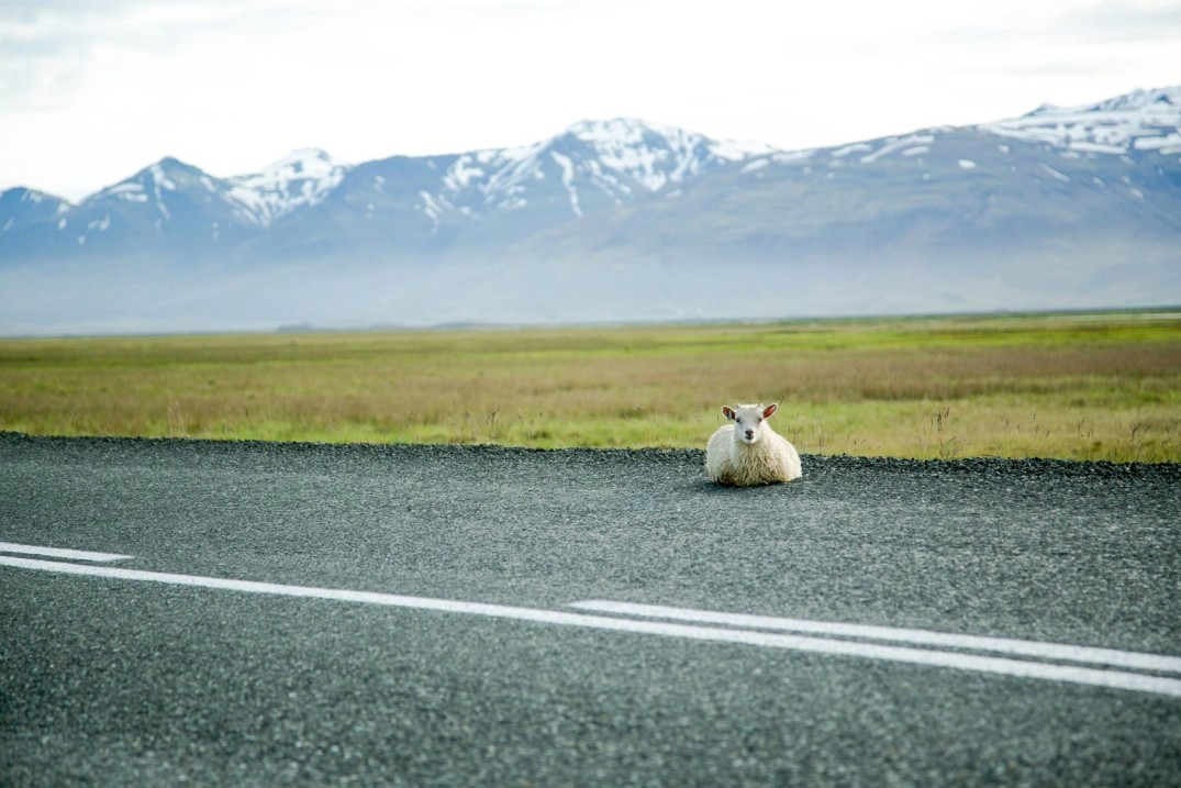 lamb-on-ring-road-iceland1